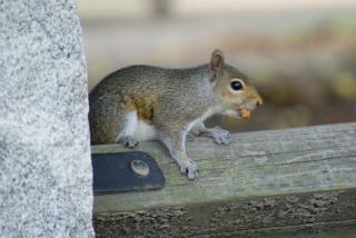 Eichhörnchen auf zaun
