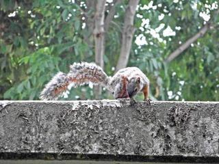 Eichhörnchen, backenbart