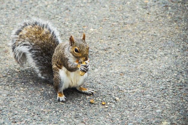 Eichhörnchen, das eine erdnuss im park in boston, usa isst.