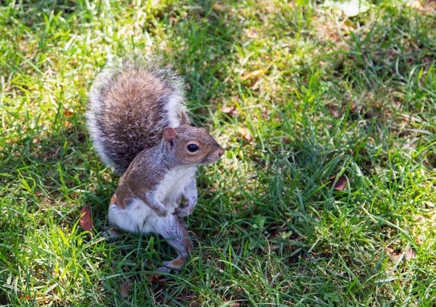 Eichhörnchen, das im central park new york aufwirft