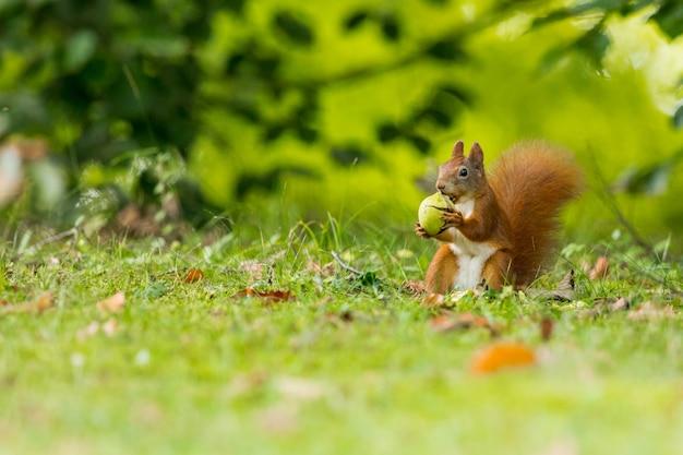Eichhörnchen, das im wald isst