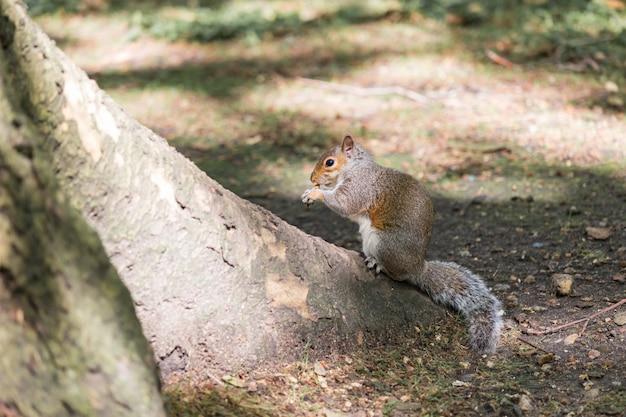 Eichhörnchen, das nusssamen auf der wurzel eines baumes im garten während des frühlings isst