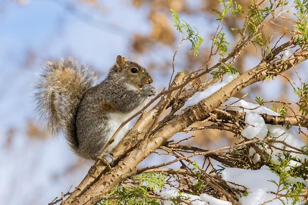 Eichhörnchen, das walnuss auf einem pelzbaum im winter in einem waldpark isst