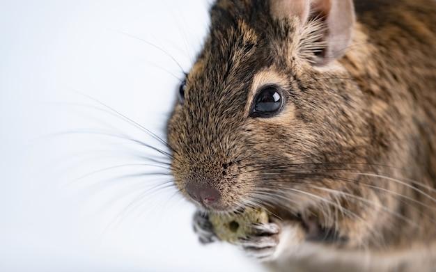 Eichhörnchen degu, das essen auf weiß isst Premium Fotos