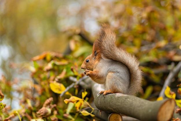 Eichhörnchen frisst eine nuss auf einem ast eines gesägten baumes mit gelben blättern in einem herbstpark