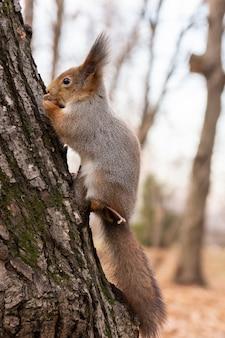 Eichhörnchen im herbstpark