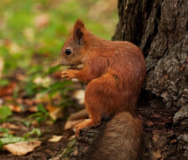 Eichhörnchen im herbstwald