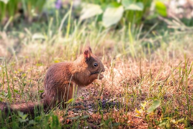 Eichhörnchen im wald in freier wildbahn