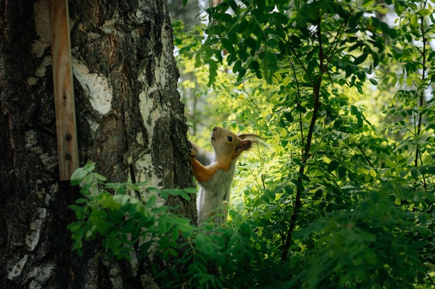 Eichhörnchen in einem grünen park auf einer birke