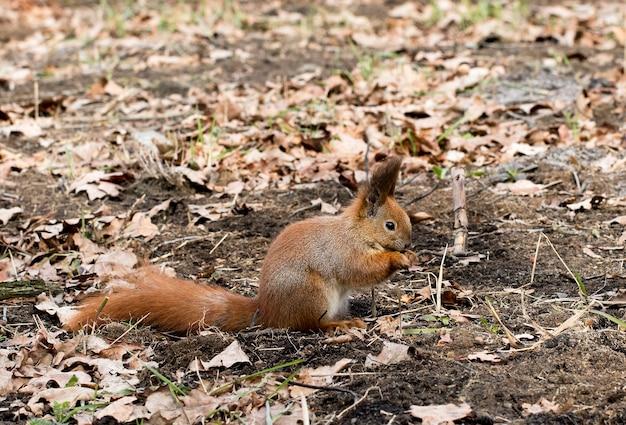Eichhörnchen in einem stadtpark