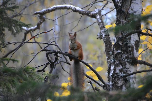 Eichhörnchen in freier wildbahn. autonomer kreis der yamalo-nenzen