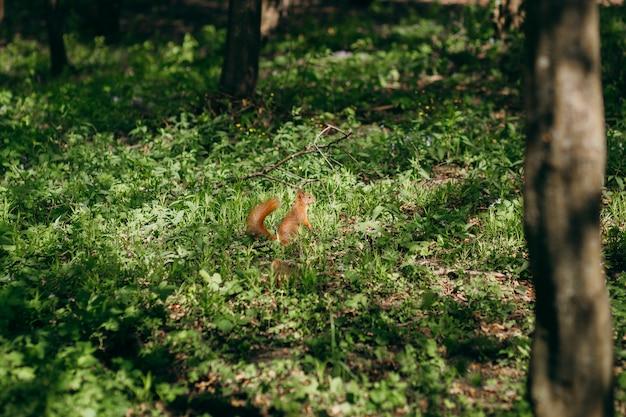 Eichhörnchen läuft auf dem rasen im park