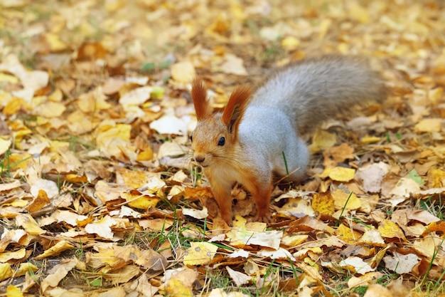 Eichhörnchen läuft vorwärts