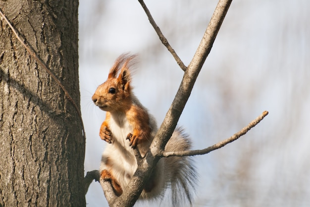 Eichhörnchen mit quasten an den ohren sitzt auf einem ast.