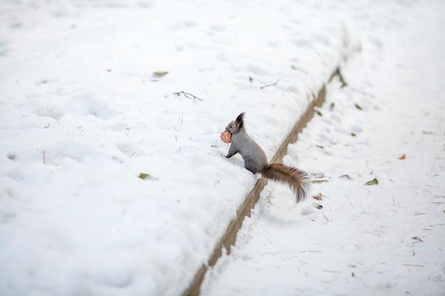 Eichhörnchen mit zedernkegel auf schnee. winterpark oder wald