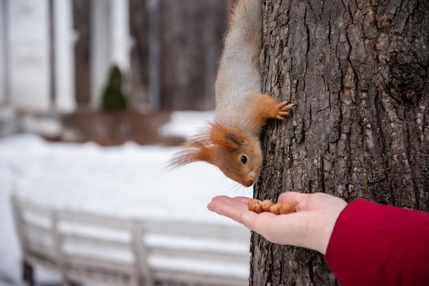 Eichhörnchen nimmt eine nuss aus ausgestreckter menschlicher hand. tierfreundliches konzept.