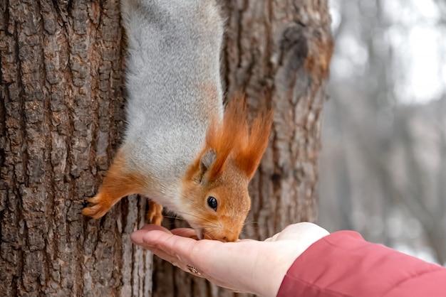Eichhörnchen nimmt eine nuss von ausgestreckter hand