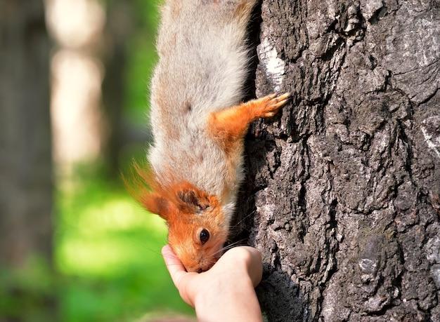 Eichhörnchen nimmt nahrung von der palme