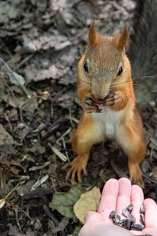 Eichhörnchen nimmt sonnenblumenkerne aus ausgestreckter menschlicher hand. tierfreundliches konzept.