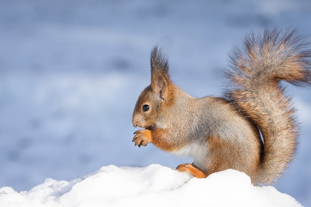 Eichhörnchen schnee winter