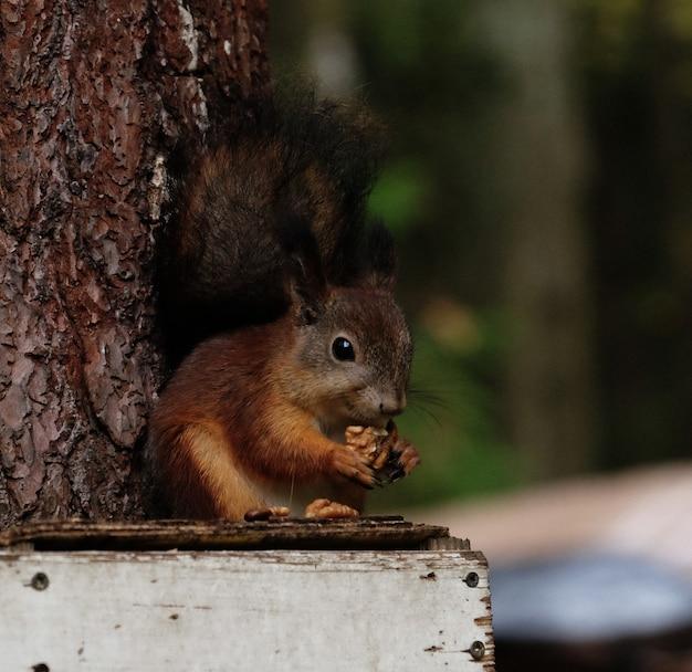 Eichhörnchen sitzt auf der zufuhr isst nüsse