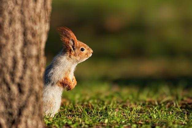 Eichhörnchen späht hinter dem baum hervor.