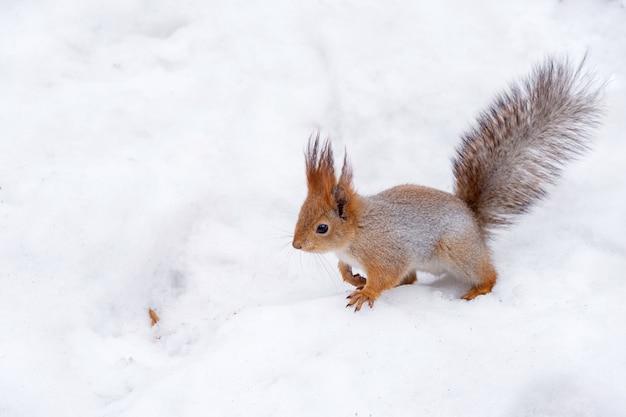 Eichhörnchen springt in den schnee Premium Fotos