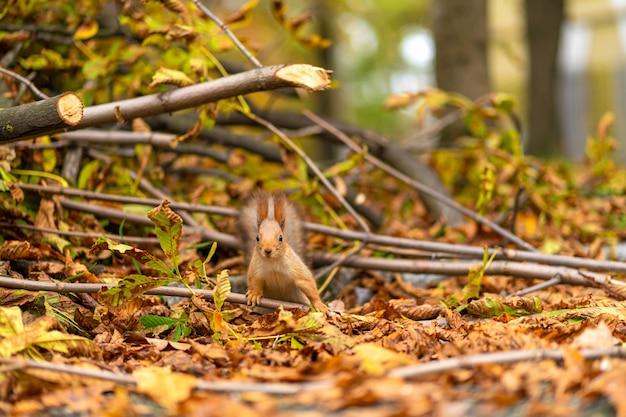 Eichhörnchen sucht im herbst in einem stadtpark nach nahrung zwischen abgefallenen gelben blättern