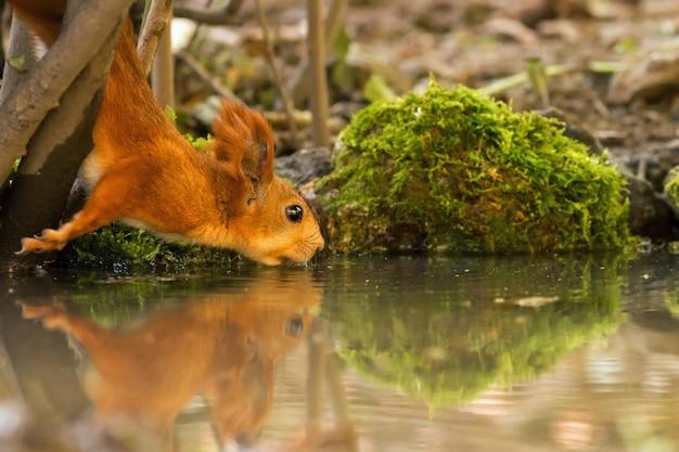 Eichhörnchen trinkwasser