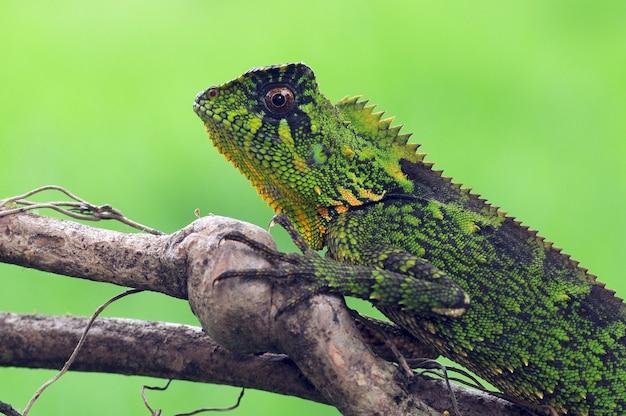 Eidechse chamäleon reptilien grün