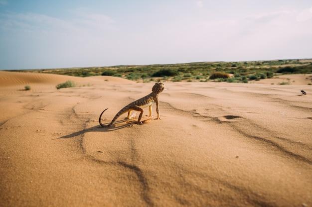 Eidechse in der wüste auf dem gelben sand. reptilien in der wüste
