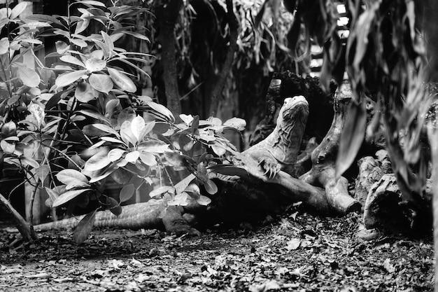 Eidechse in schwarz und weiß