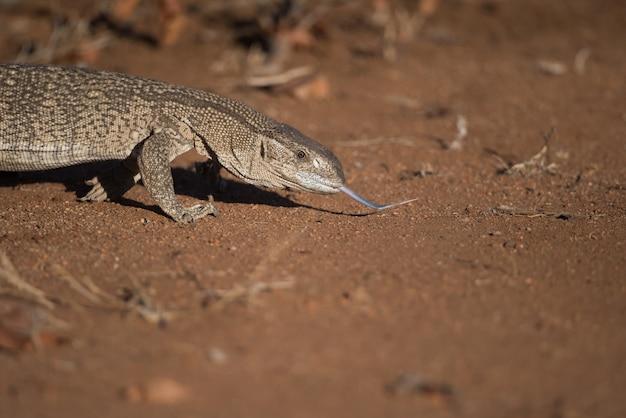 Eidechse leckt den boden in einem wüstengebiet