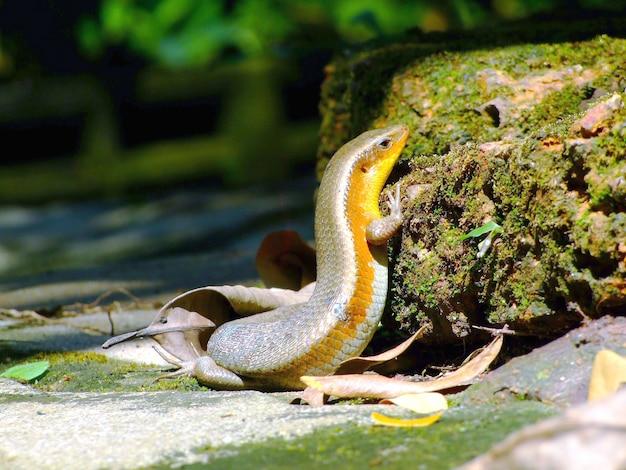 Eidechse (podarcis hispanica)
