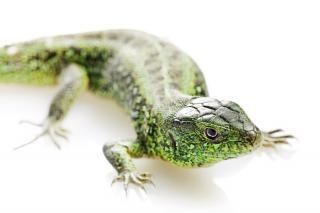 Eidechse, salamander