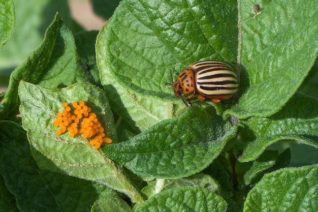 Eier des colorado-käfers auf den blättern von kartoffeln. kartoffelkäfer (leptinotarsa decemlineata) - schädling von kartoffeln und tomaten
