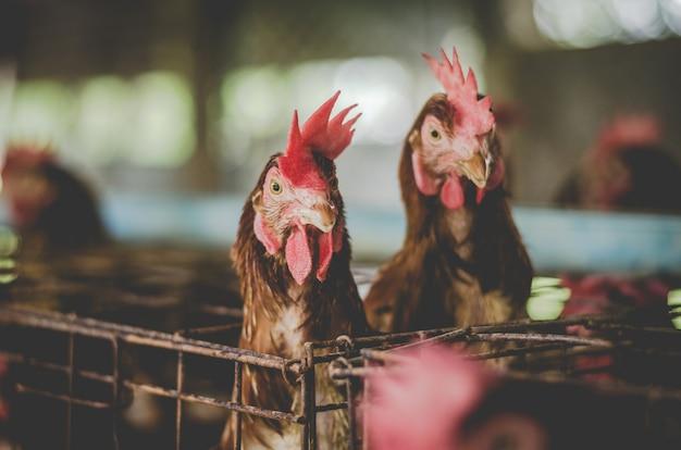 Eier hühner, hühner im industriellen bauernhof der viehhaltung
