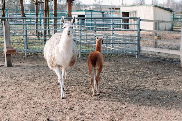 Ein alpaka mit seinem lamaähnlichen jungen aus südamerika ist in seinem gehege auf einer farm
