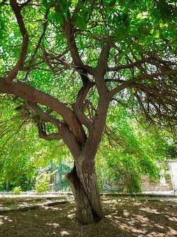 Ein alter maulbeerbaum im garten