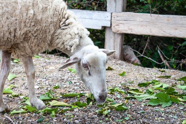 Ein altes schaf, das grünes gras an der farm isst
