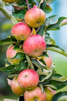 Ein ast eines baumes mit roten köstlichen äpfeln. guten morgen herbsttag