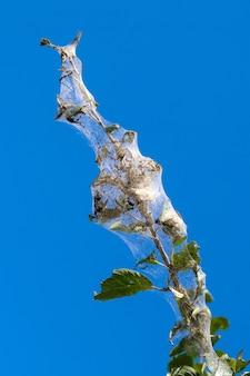 Ein ast vor blauem himmel ist dicht mit spinnweben bedeckt, in denen sich die larven eines weißen schmetterlings befinden. der baum ist von spinnweben betroffen