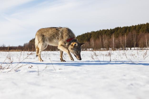 Ein ausgewachsener grauer wolf schleicht sich durch ein verschneites winterfeld inmitten eines waldes
