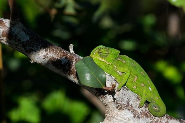 Ein baby-mittelmeer-chamäleon (chamaeleo-chamaäleon), das sich langsam auf einem johannisbrotbaum in malta bewegt