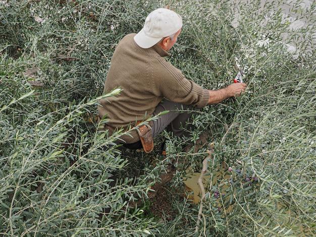 Ein bauer, der arbequina-oliven in einem olivenhain in katalonien erntet