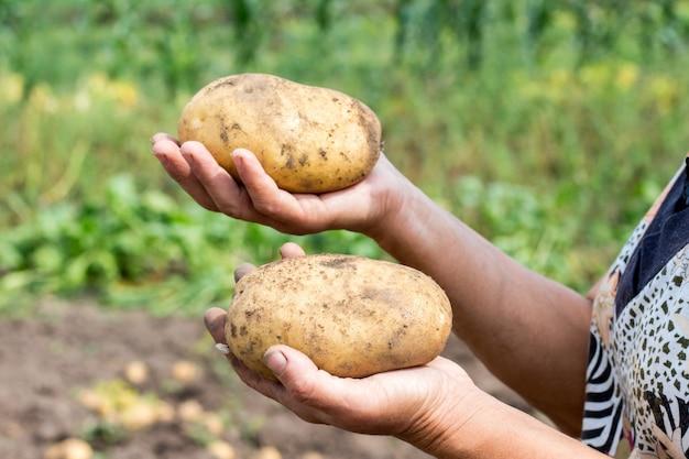 Ein bauer hält große kartoffeln in den händen