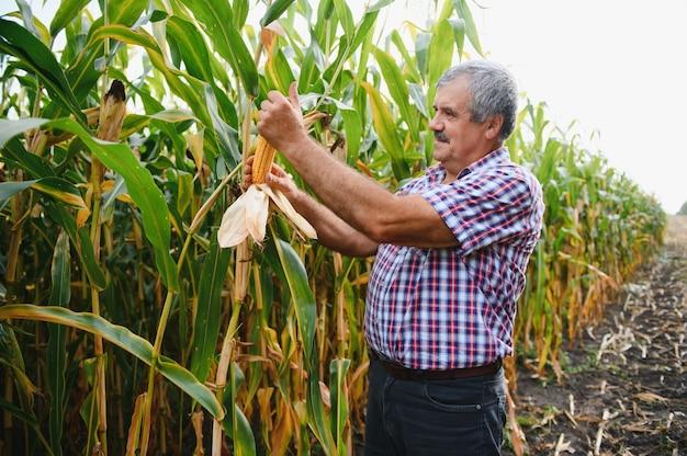 Ein bauer kontrolliert die hohe maisernte vor der ernte. agronom im feld