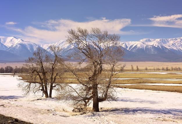 Ein baum in der kurai-steppe ein kahler baum inmitten der schneeschmelze im frühling