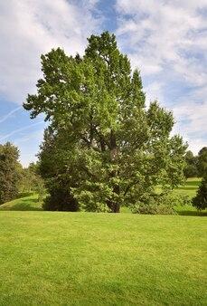 Ein baum in einem sommerpark. grüner rasen unter blauem himmel