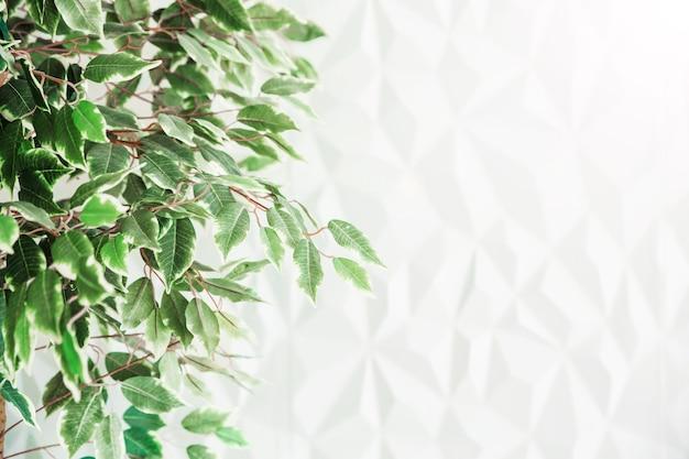 Ein baum mit grünen kleinen blättern gegen eine weiße wand.
